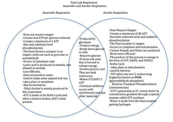 Anaerobic And Aerobic Respiration Venn Diagram – Aerobic Respiration Worksheet