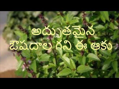 Tulsi Health Benefits Tulsi Leaves Are Very Beneficial For Health Chewing The Tulsi Or Basil Leaves Of The Holy Basil Helps Health Benefits Tulsi Holy Basil