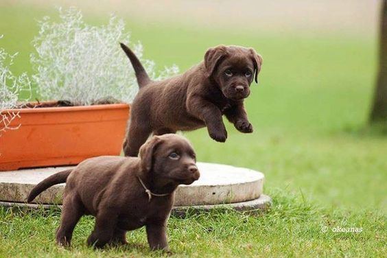 Chocolate Lab Pups Labradorretriever With Images Cute Lab