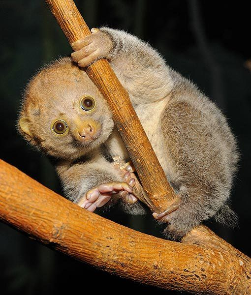 POTTO ~ Habitat: Rain forests in Africa ~ Fun Fact: The potto is a nocturnal creature that lives among the trees and is an extremely skilled  climber.