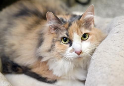 This Lovable Cat Needs A Home Domestic Long Hair Dilute Calico Mixed Long Coat In Chattanooga Tn Kittens Cutest Pets Pet Adoption