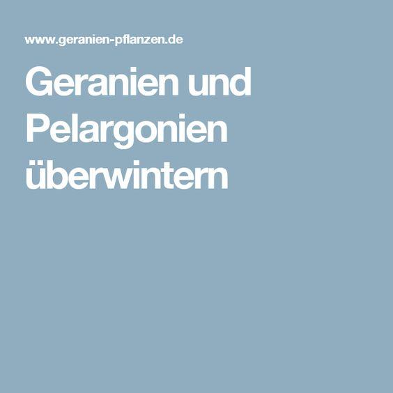 Geranien und Pelargonien überwintern