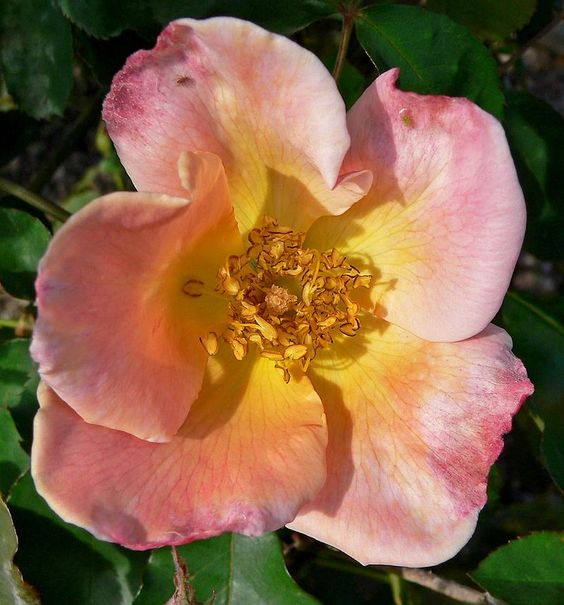 Rosa Irish Elegance 2 Dickson Roses Wikipedia Wild Irish Rose Irish Rose Irish Flower Tattoo