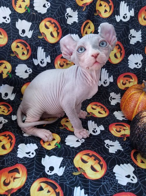 Nocoatkitty Sphynx Kitten With Images Sphynx Kittens For Sale Cute Cats And Kittens Hairless Cat