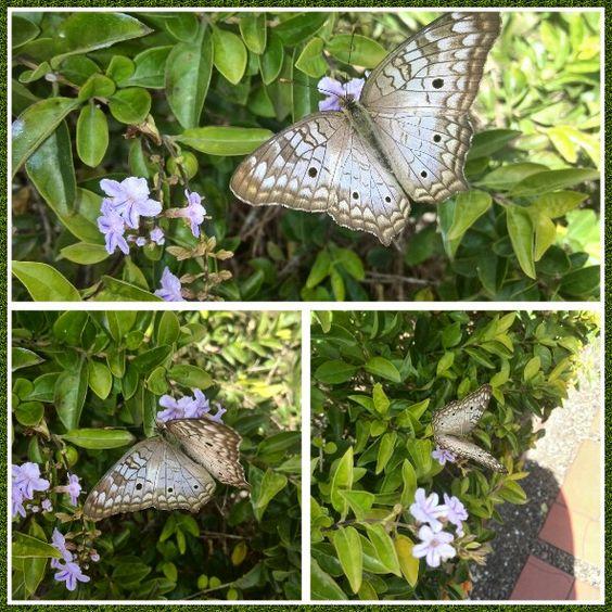 Regalitos que llegan a mi jardín!!! #Transformación #Cambio #Mariposas #Vuelo