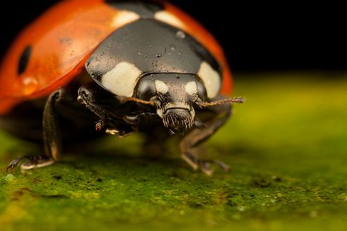 7-Spotted Lady Beetle (Coccinella Septempunctata). Also known as the Ladybird or Ladybug. Photographed by Alliec2007, via Flickr.