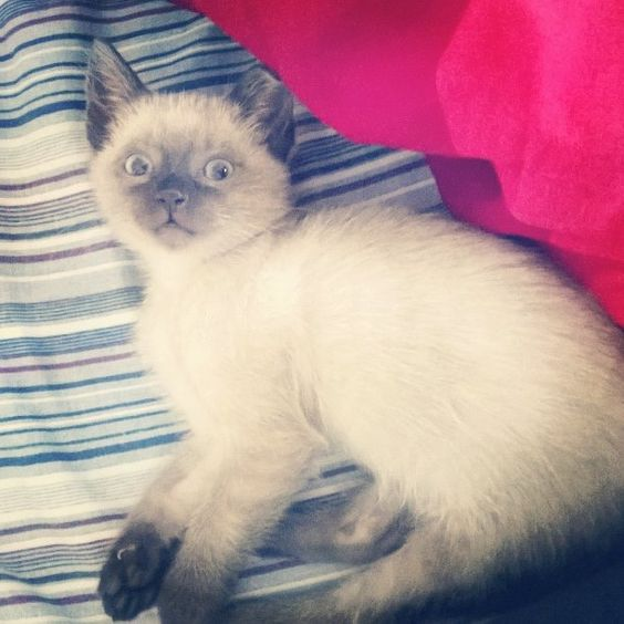 cute kitten, siamese, blue eyes