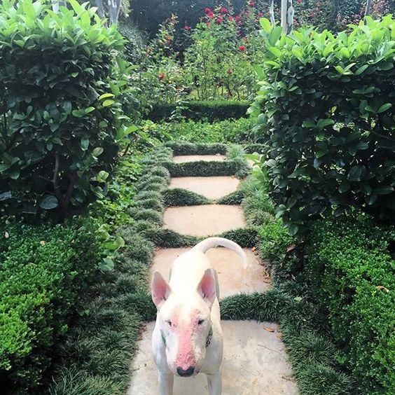 What's the password mum? #batista#bully#bullylove#bullterrier#bullysofinstagram#ebt#gardenshark#englishbullterrier#headgardener#garden#gardening#gardener#organic#grown#greenbelt#oxygentank#hedges#viburnum#buxus#symmetry#gardenglory#gardensofinstagram#red#roses#rosegarden#flowers#flowersofinstagram #happywednesdayall