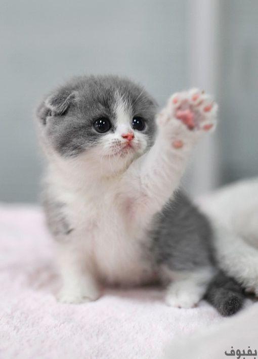 صور قطط صغيرة أجمل صور القطط الصغيرة في غاية الجمال بفبوف Cutest Kittens Ever Cute Baby Cats Cute Cats