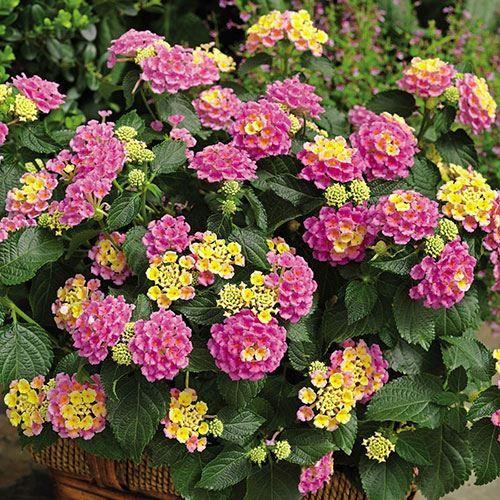 Lantana Bandana Pink Pack Of 3 Lantana Lantana Plant Flower Pots