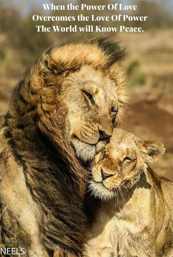Lions are big proud hunters.  Its not easy to conqier the heart of a lion but I thing if it's yours  the it is love forever!