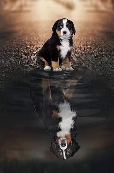Pin Von Denice Hove Auf Bernese Mountain Dogs Berner Sennenhund Entlebucher Sennenhund Bernasennen Hund