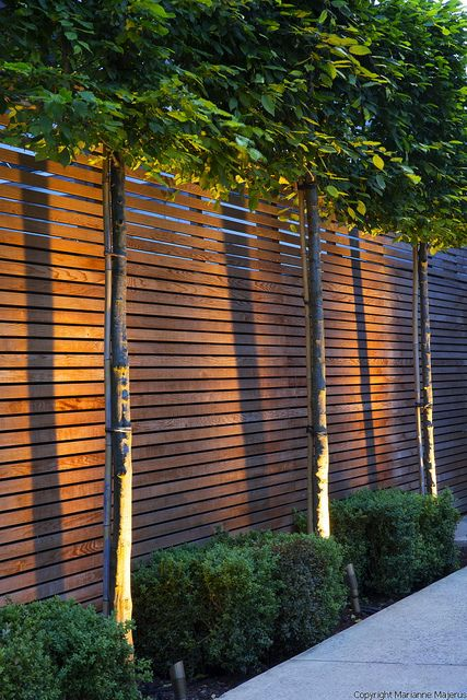 Large Wimbledon Garden | Up-lit pleached hornbeams underplanted with box in town garden | Charlotte Rowe Garden Design