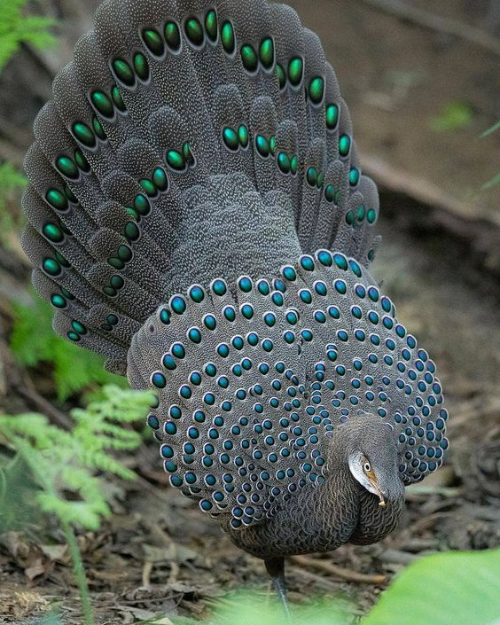 Grey Peacock Pheasant at its full glory 😠COPYRIGH