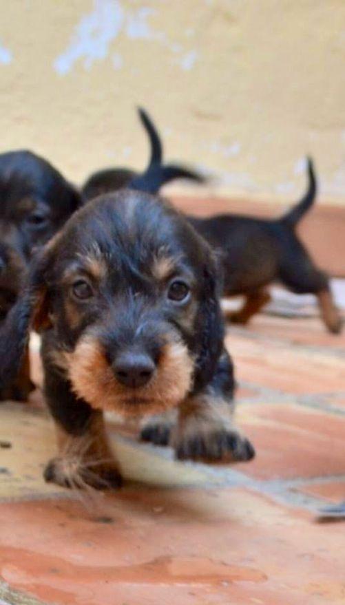 Wire Haired Dixie Puppy Dackel Hundebabys Kleine Hunde