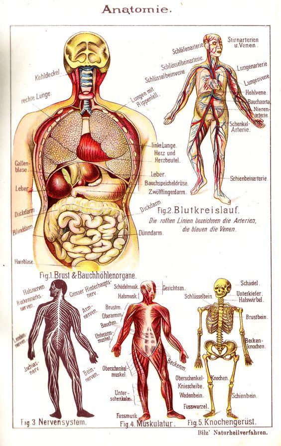 Gemütlich Brustkorb Anatomie Knochen Fotos - Menschliche Anatomie ...