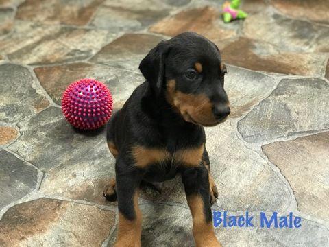 Doberman Pinscher Puppy For Sale In Hayesville Nc Adn 68710 On