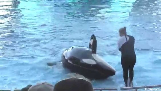 Water Park Seaworld | Whale Killer attack | Whale Showing at Orlando