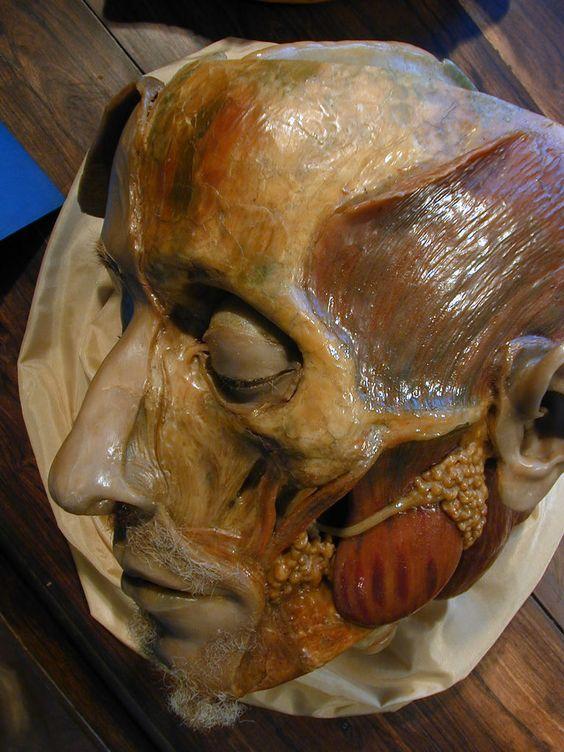 Cera anatómica. Gaetano Zumbo. Anatomia di testa maschile. La Specola.