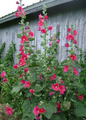 Hollyhocks, my favourites!