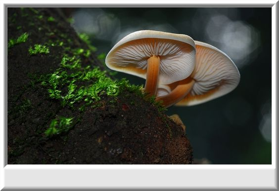 霧社山區遇到的野生金針菇 - 自然生活記趣 - 新浪部落