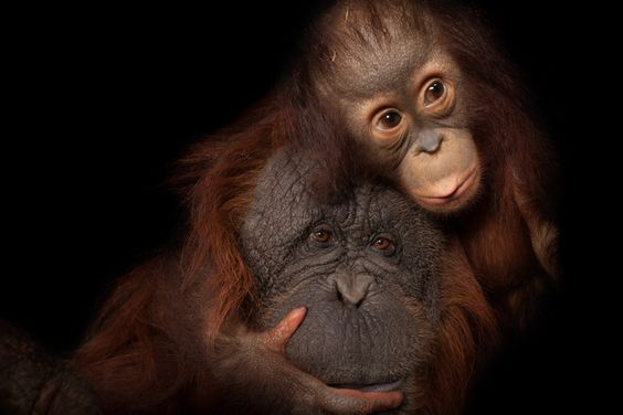 Picture of a Bornean orangutan from National Geographic Photo Ark. natgeophotoark.org check it out!