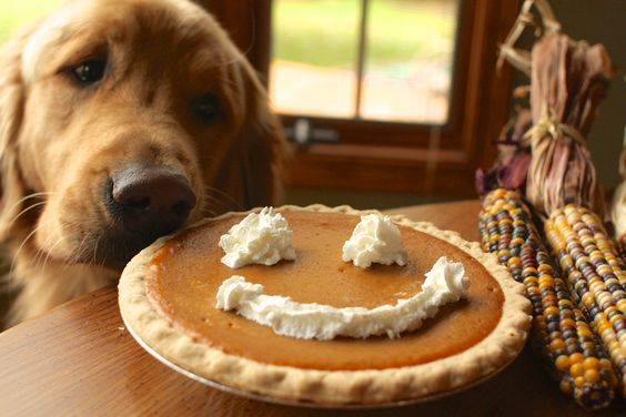 Happy Thanksgiving. Golden Retriever with pumpkin pie.: