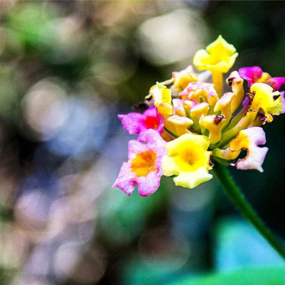 #Lantana Camara or #cariaquito #VERBENACEAE an Australian weed. In my home country they're considered a #lucky plant and with a lot of good properties... for me it as like a #goodluck sign ! #soluky #thesecret #lawofattraction #loa #Brisbane #flowers #Flores
