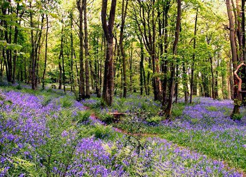 Poetical Bluebells In Grasmere Britain Lake District England Lake District Bluebells