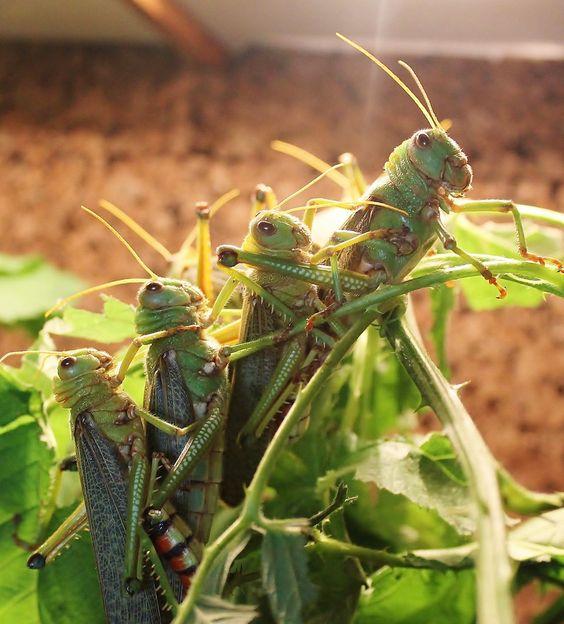 Tropidacris collaris
