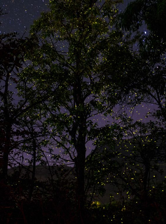 The Dance of the Fireflies