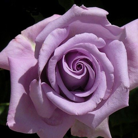 Indigoletta - A unique colored, purple blend climbing rose with very fragrant, repeat blooms.