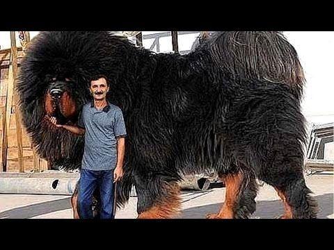 El Perro Mas Caro Del Mundo Youtube Perros Gigantes Razas De Perros Perros Enormes