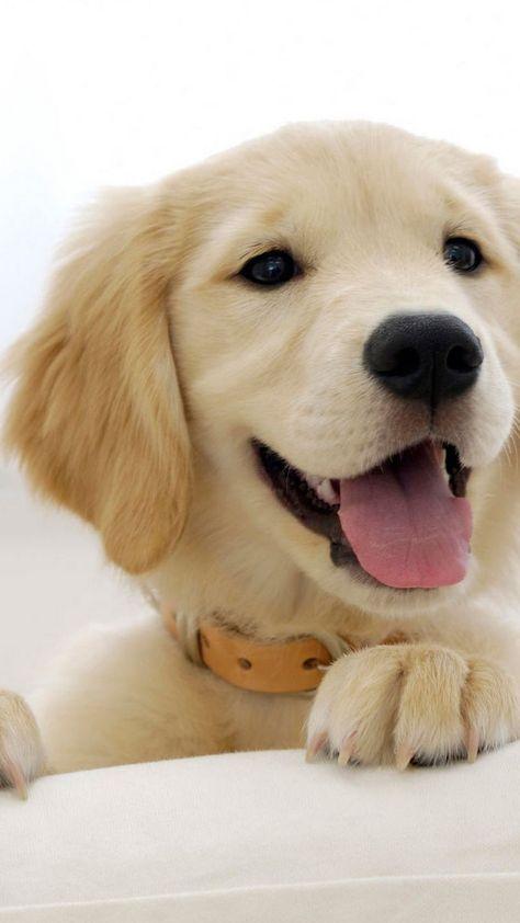 Wallpaper Phone Cute Dog Puppys Golden Retrievers 27 Ideas For 2019 Cute Dog Wallpaper Dog Wallpaper Iphone Cute Dogs