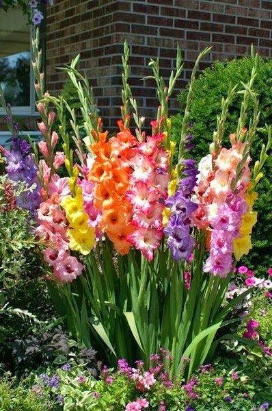 Gladiolen. Meine Lieblingsblumen