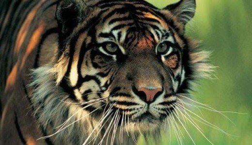 23 Foto Hantu Cindaku Benarkah Manusia Harimau Ada Di Dunia Nyata Download 5 Makhluk Mitologi Asli Indonesia Yang Cocok Jadi Hero Download Animals Tiger