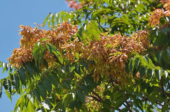 ÁRBOL DEL CIELO. Ailanthus altissima... (Ailanto, árbol del cielo; ailant (cat.); ailantoa (eusk.). Arbolillo caducifolio que en la Península rara vez sobrepasa los 20 m de altura, o adopta porte arbustivo. La corteza es lisa y de color gris claro. Las hojas son muy características