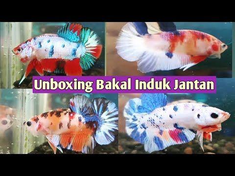 Ternak Cupang Unboxing Male Nemo Candy Dan Female Avatar Gordon Youtube Di 2020 Ikan Cupang Ikan Betina