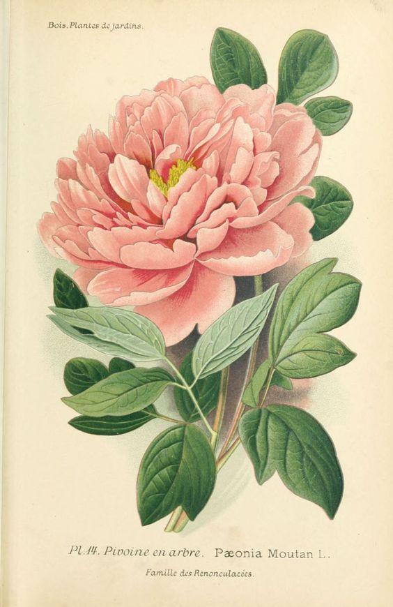 Gravures fleurs de jardin gravure de fleur de jardin Fleurs pivoines