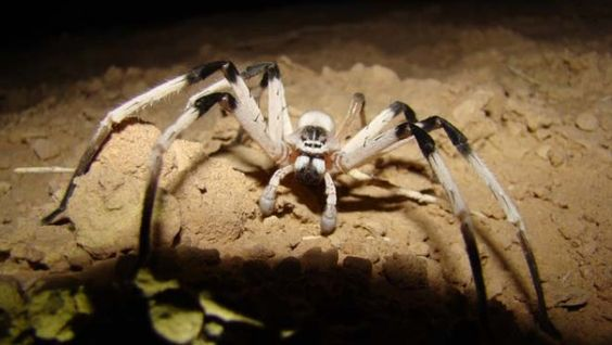 Descubren araña de 13 centímetros en Medio Oriente