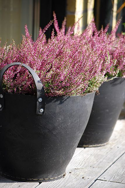 winter flowering heathers - rich range of colours