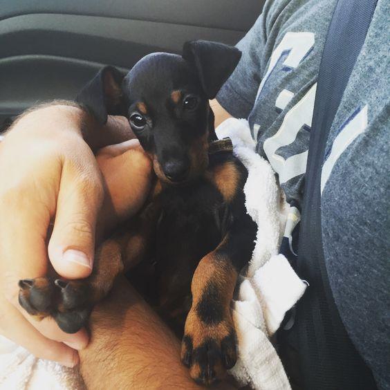 Manchester terrier puppy