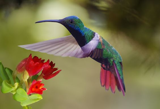 the black-throated mango hummingbird (anthracocothorax nigricollis), is a mainly south american hummingbird species. it breeds in panama south to northeastern bolivia, southern brazil and northern argentina. from emuwren