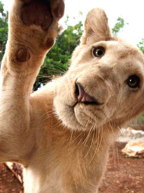 white lion cub say hello   by Kent Steinhaug