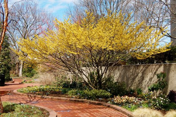 Hamamelis x intermedia 'Arnold's Promise' at the Mary Livingston Ripley Garden