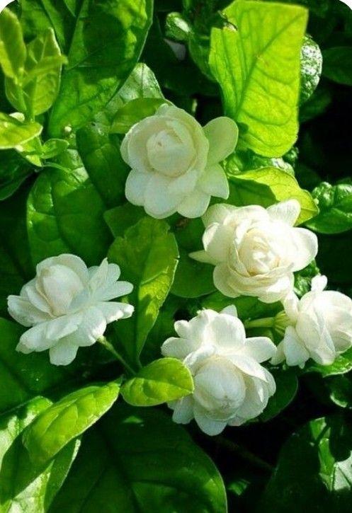 Pin By أبو محمد On جمال الورد In 2020 Flower Fragrance Jasmine Plant Jasmine Flower