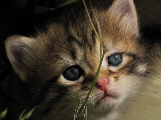 yeux d animaux fond d 39 cran gratuit chat trop mignon fonds d 39 cran fond d 39 ecran. Black Bedroom Furniture Sets. Home Design Ideas