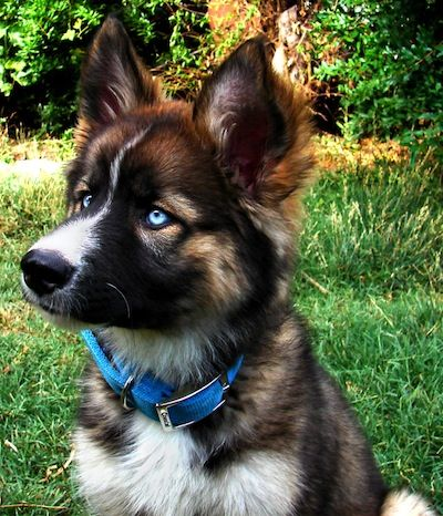 Gerberian Shepsky information and pictures German Shepherd Siberian ...