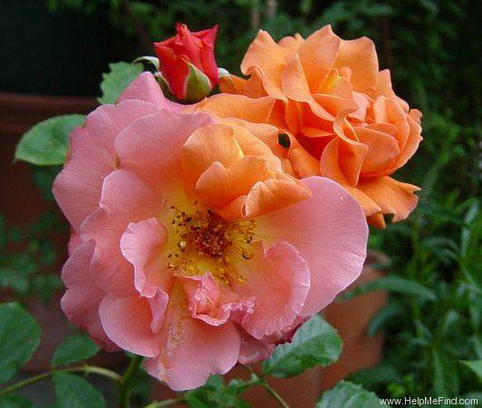 39 westerland 39 rose photo climbing roses pinterest. Black Bedroom Furniture Sets. Home Design Ideas