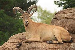 El tur del Cáucaso occidental (Capra caucasica) es una especie de mamífero artiodáctilo de la familia Bovidae.2  Los machos son más grandes que las hembras, pesando aproximadamente entre 65 a 100 kg y midiendo de 1,5 m. a 1,65 m de largo. Los cascos son grandes y las patas cortas, su barba es larga, estrecha y prominente, en verano, su pelaje es de color amarillo bronceado, claro en dorso y flancos, más oscuro en la cabeza, muy oscuro en la cola y la parte inferior de las piernas, sucio y…